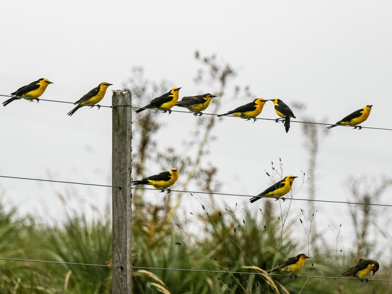 Saffron-cowled Blackbird - F Fernandes