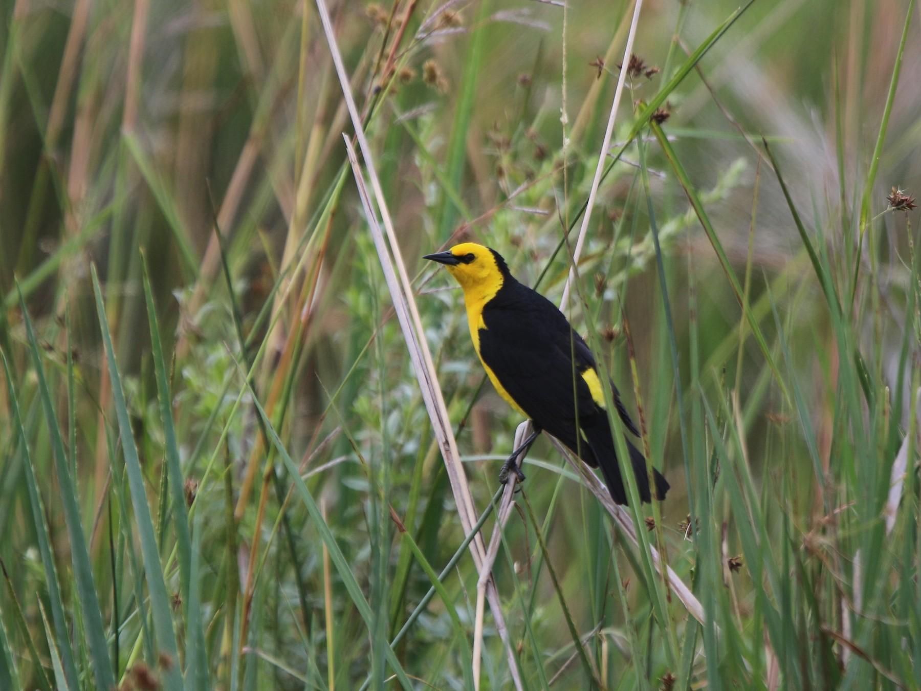 Saffron-cowled Blackbird - Thompson Ian