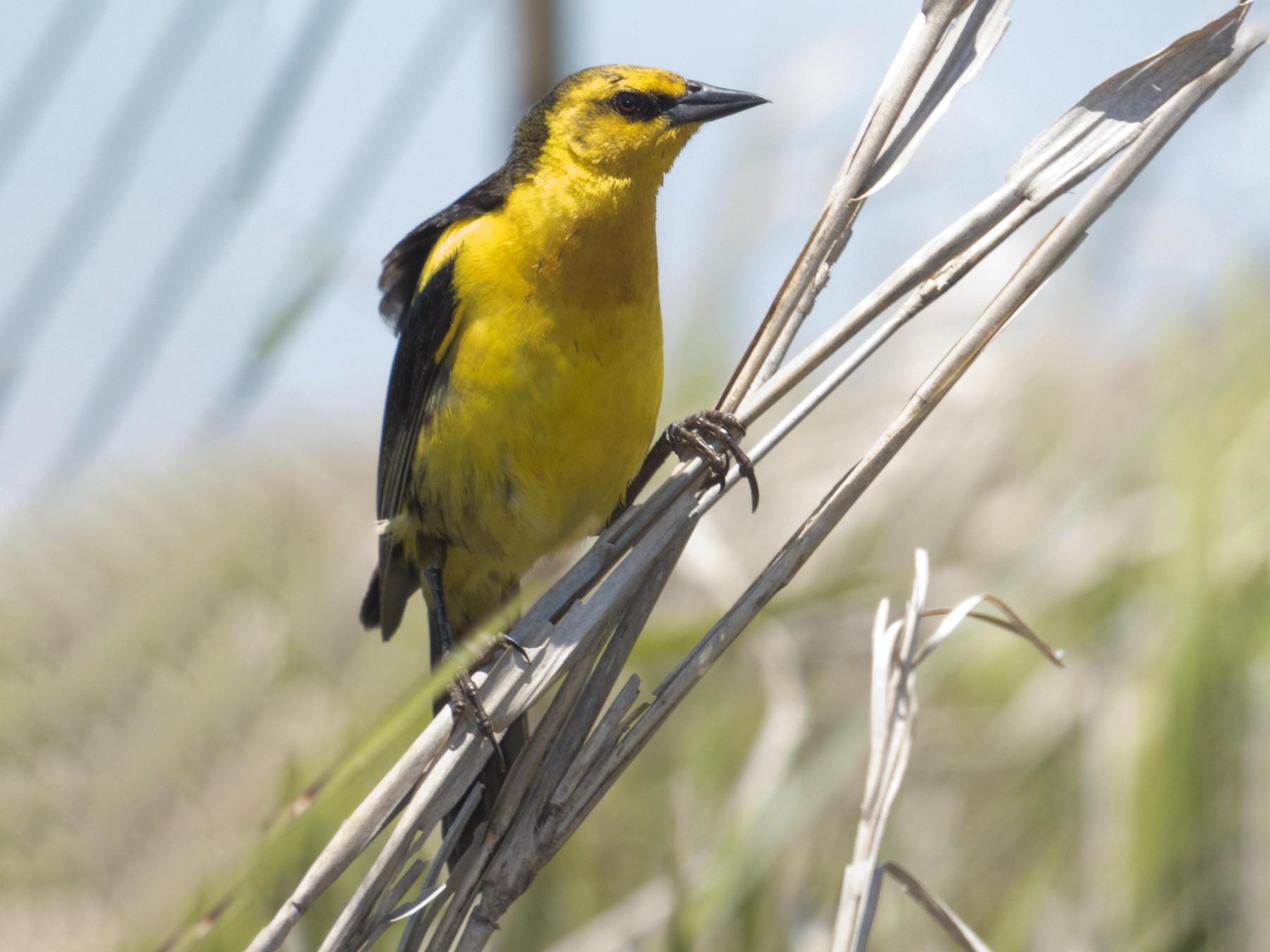 Saffron-cowled Blackbird - Leandro Bareiro Guiñazú