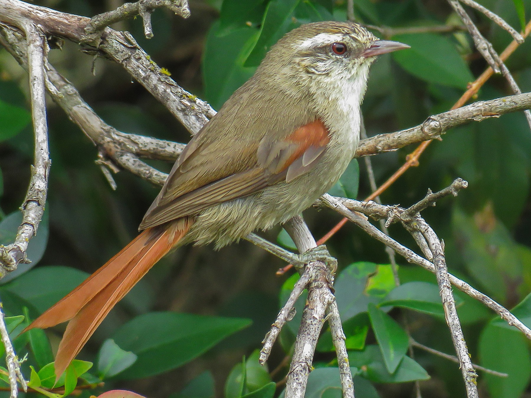 Stripe-crowned Spinetail - Raphael Kurz -  Aves do Sul