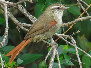 - Stripe-crowned Spinetail