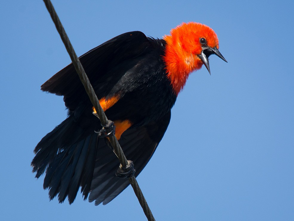 Scarlet-headed Blackbird - LUCIANO BERNARDES