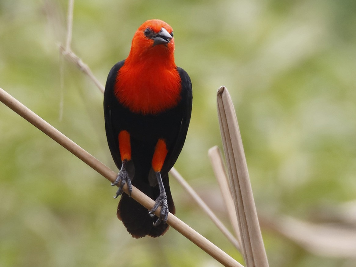 Scarlet-headed Blackbird - Dave Curtis