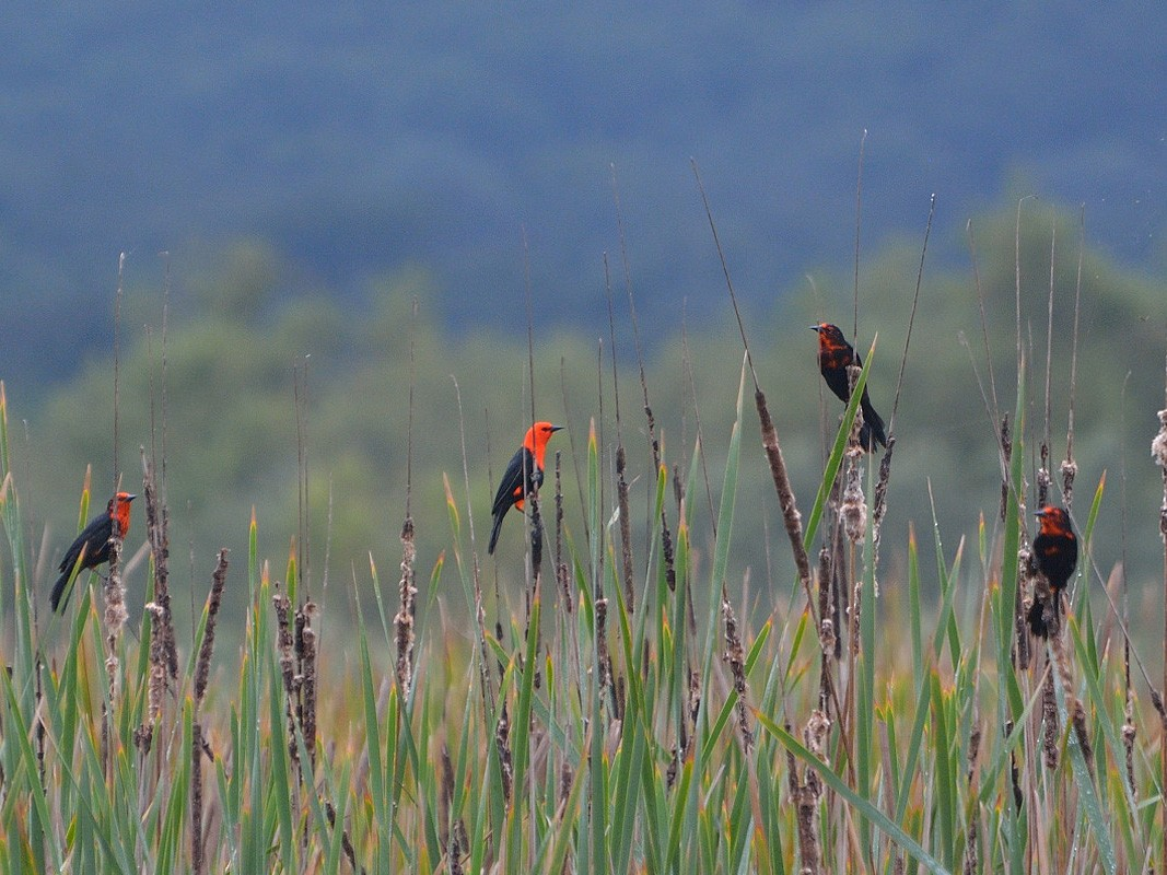 Scarlet-headed Blackbird - Luis Fernandez