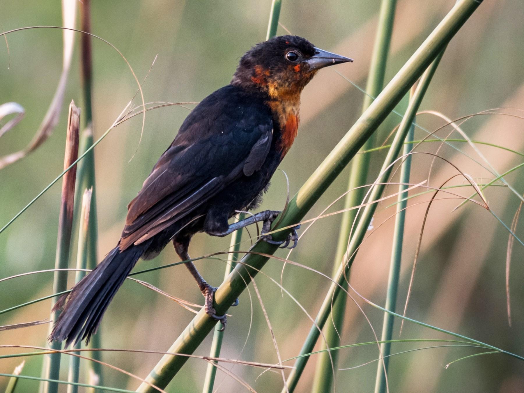 Scarlet-headed Blackbird - Michael Plaster
