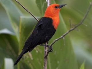- Scarlet-headed Blackbird