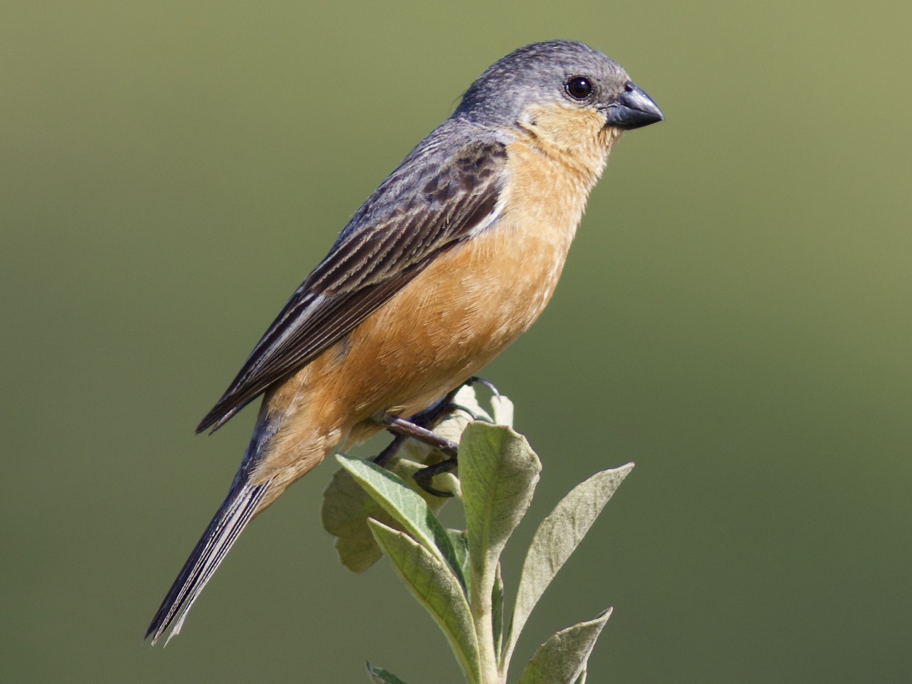 Tawny-bellied Seedeater - Luiz Matos