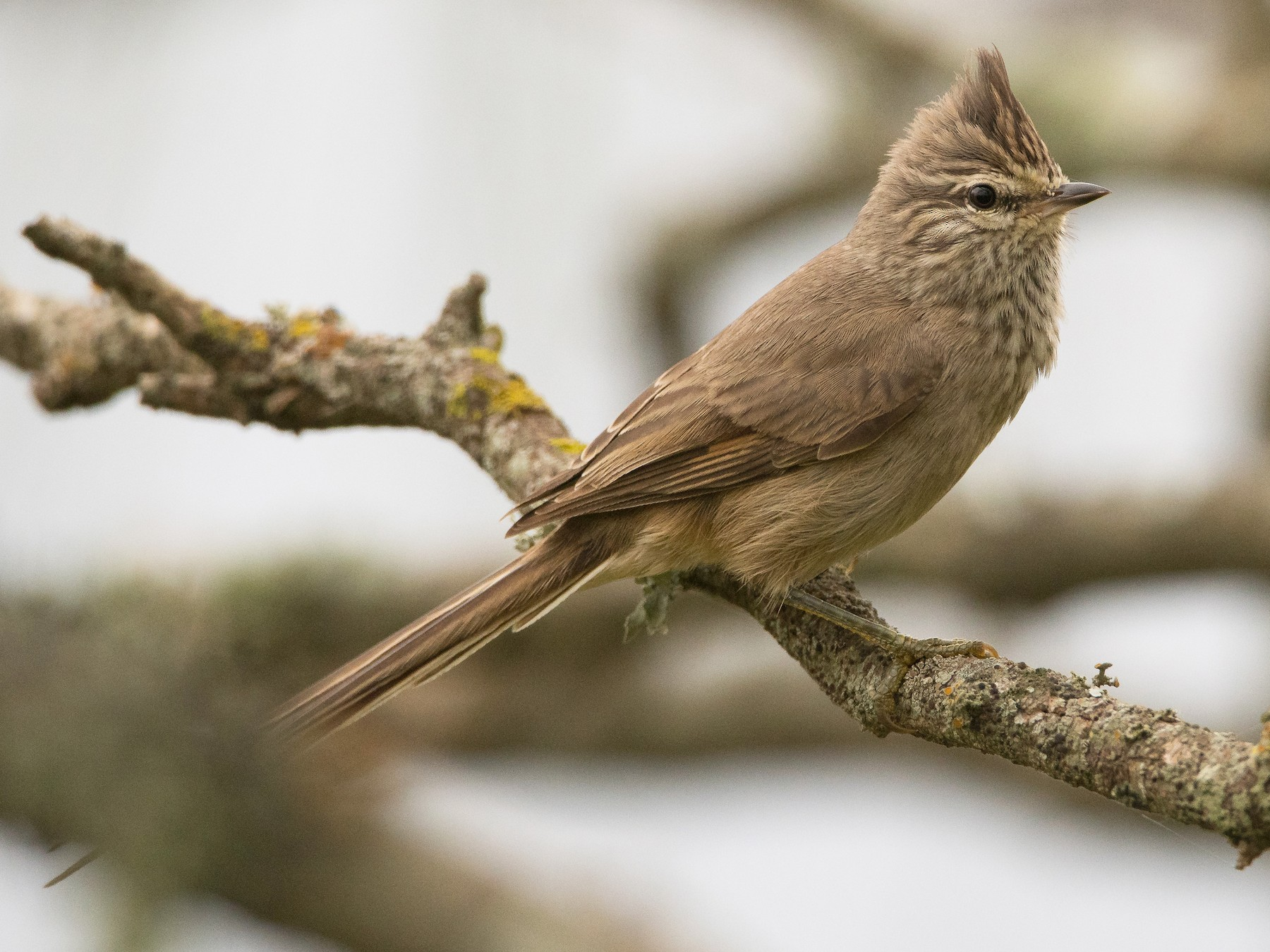 Tufted Tit-Spinetail - Pablo Re