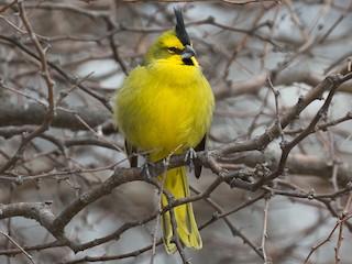 - Yellow Cardinal
