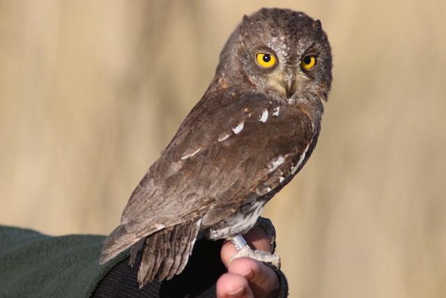 Oriental Scops-Owl (Oriental)
