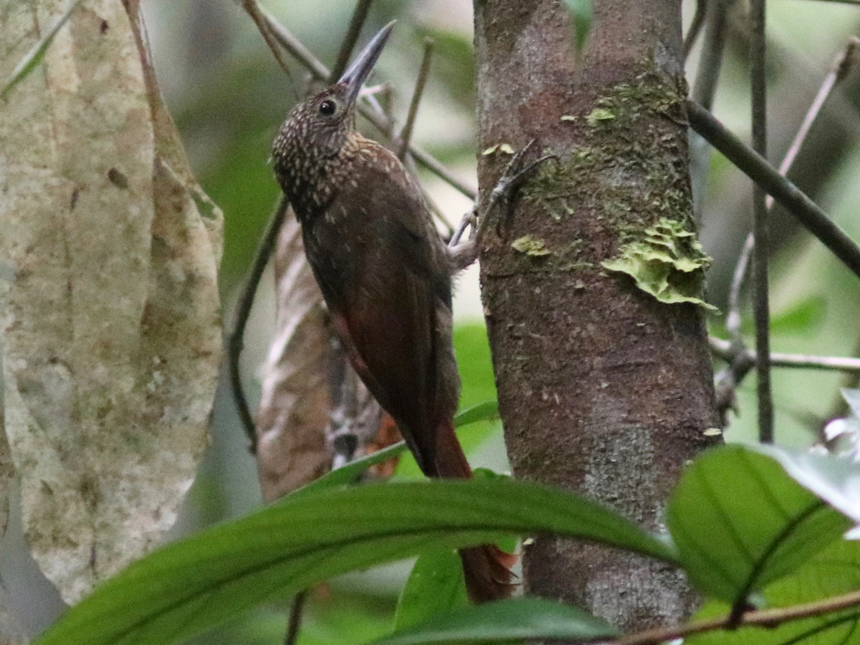 Chestnut-rumped Woodcreeper - Andre Moncrieff