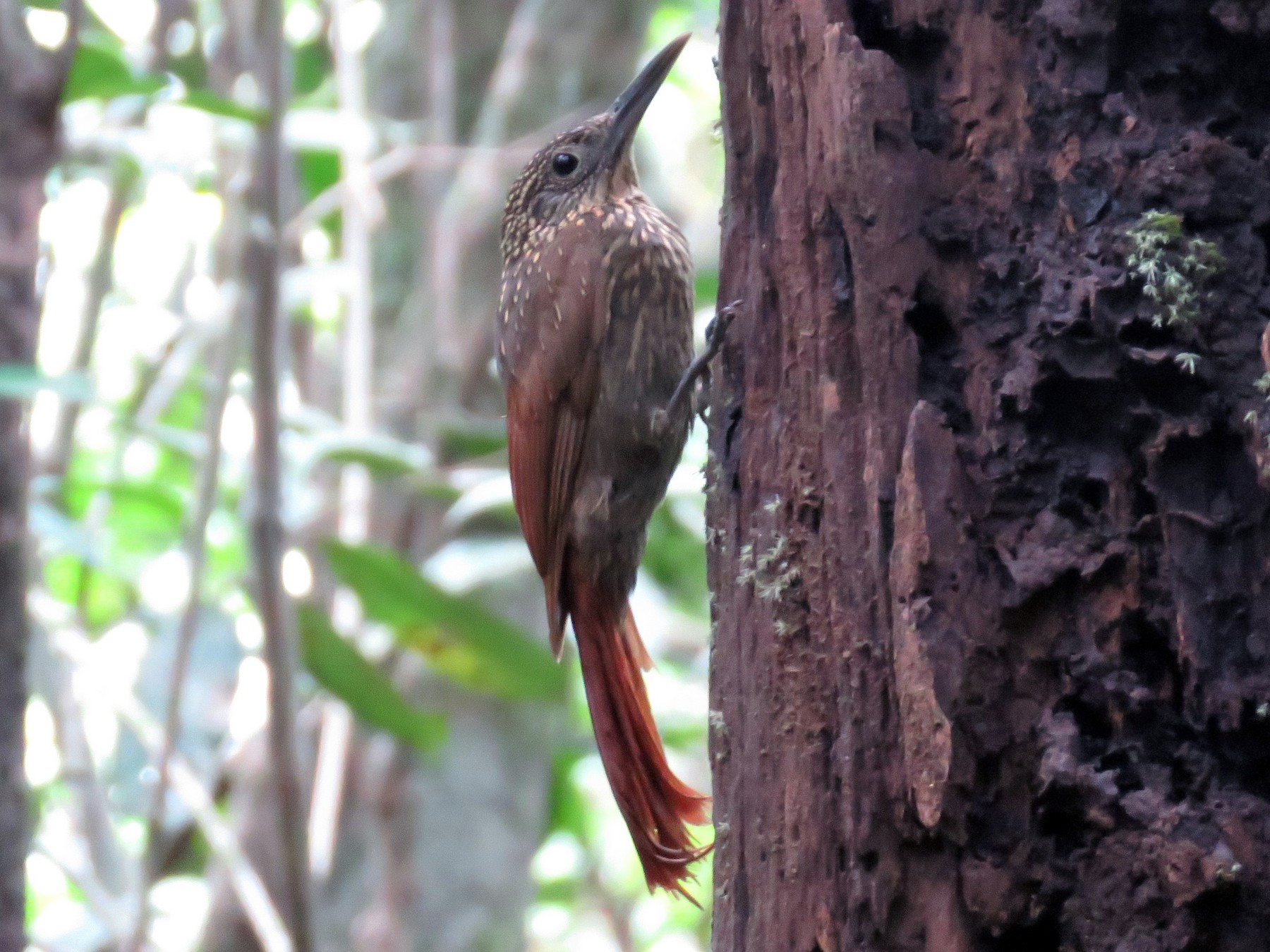 Chestnut-rumped Woodcreeper - Hugo Foxonet