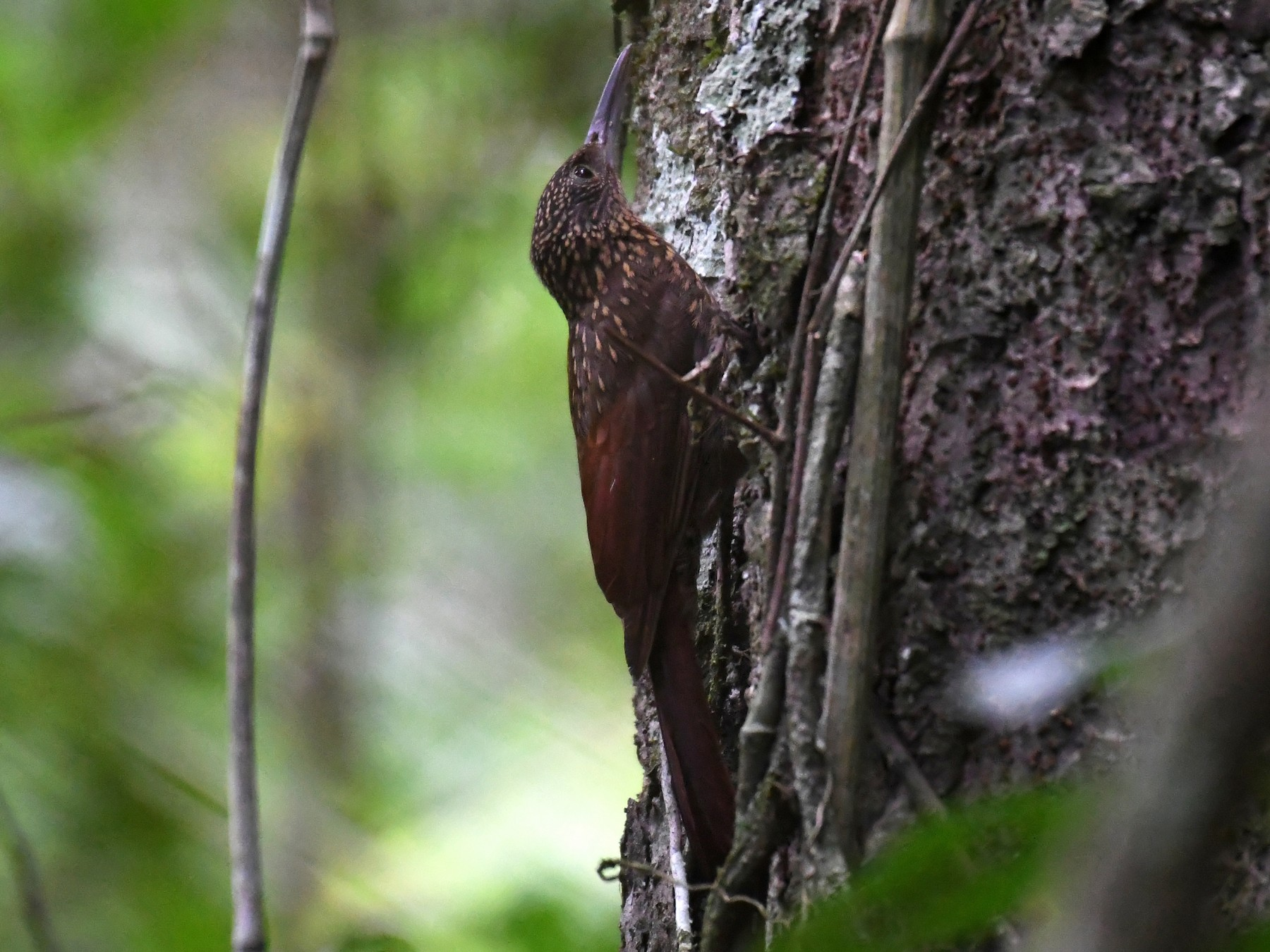 Chestnut-rumped Woodcreeper - Hichem Machouk