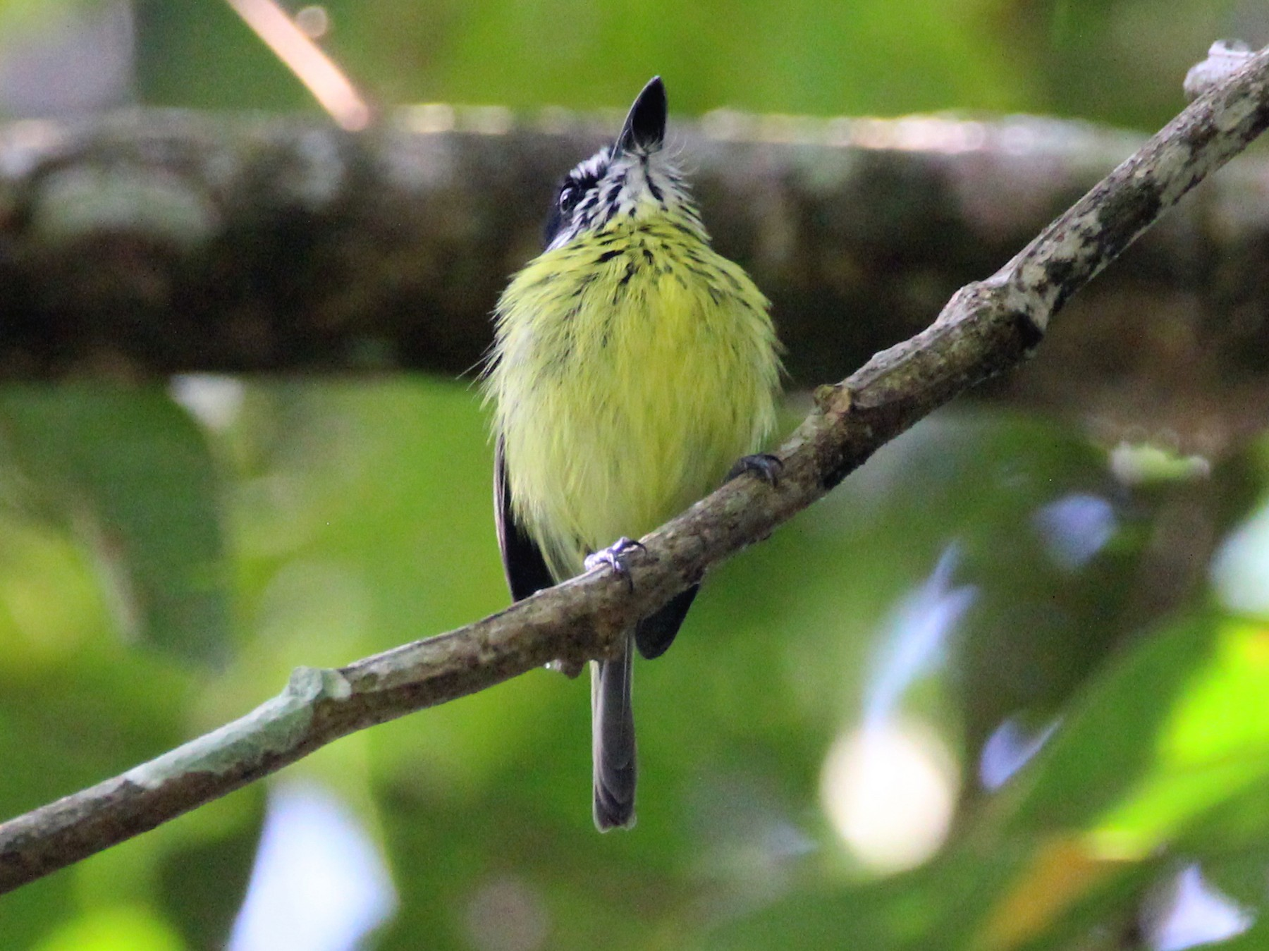 Painted Tody-Flycatcher - Kevin Wistrom