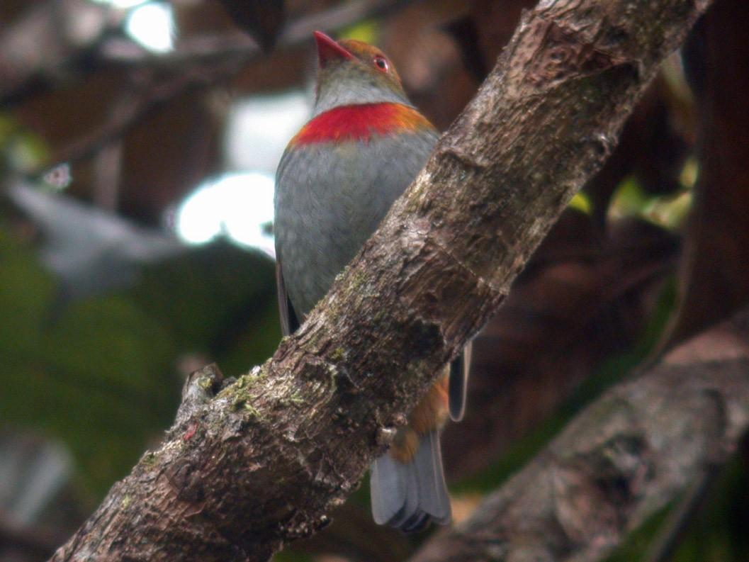 Red-banded Fruiteater - Michael Todd
