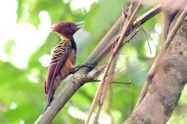 Kaempfer's Woodpecker