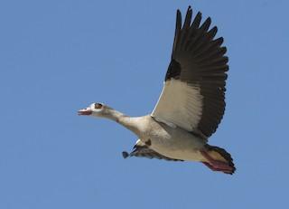 Egyptian Goose, ML181255601