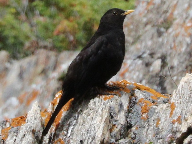 Tibetan Blackbird - Suresh  Rana