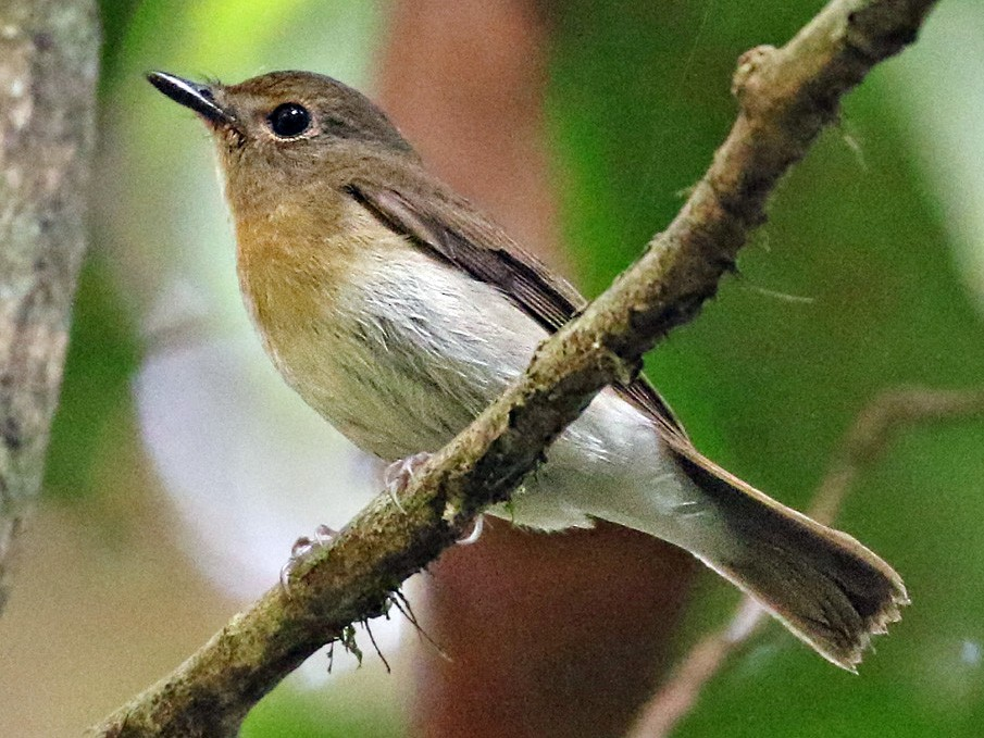 Chinese Blue Flycatcher - Dave Bakewell