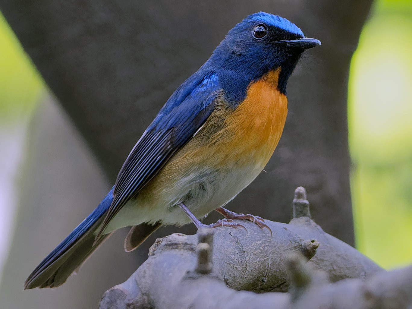 Chinese Blue Flycatcher - Vincent Wang