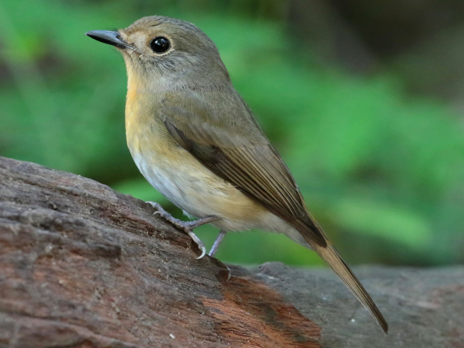Chinese Blue Flycatcher - ian dugdale