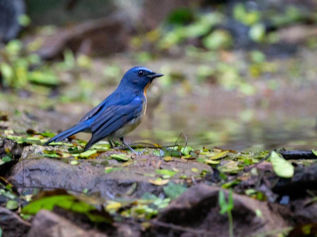 Chinese Blue Flycatcher - Robert Tizard