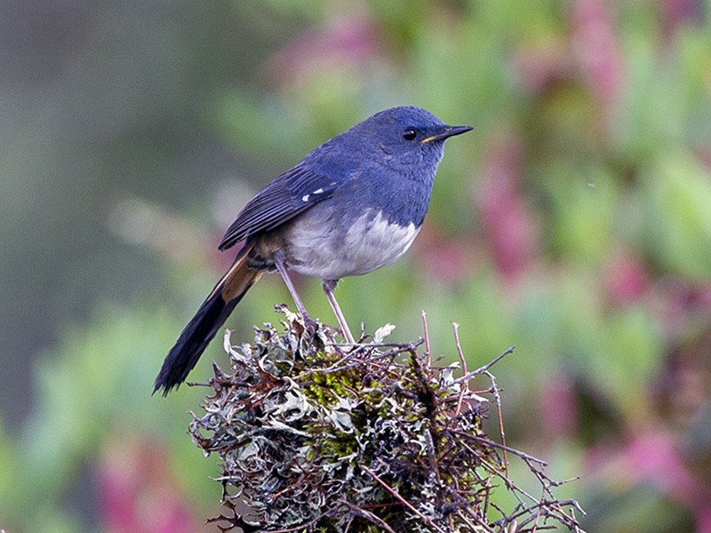 White-bellied Redstart - Rofikul Islam