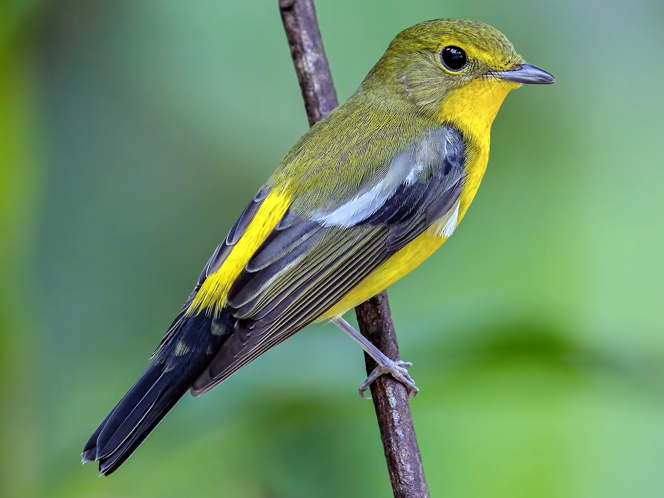 Green-backed Flycatcher - Zhong Ying Koay