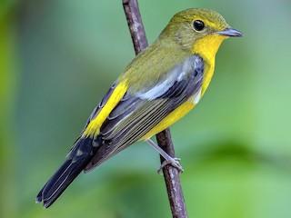 - Green-backed Flycatcher