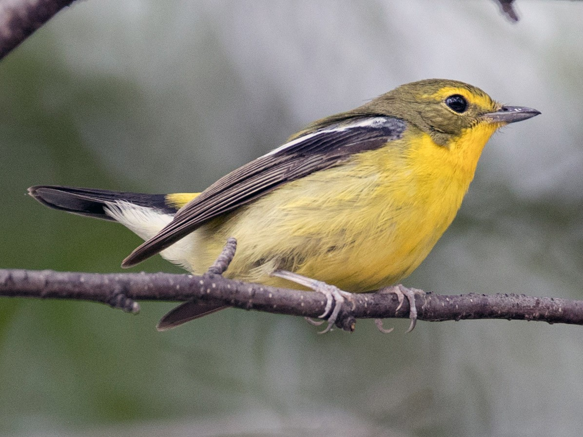 Green-backed Flycatcher - Ian Davies