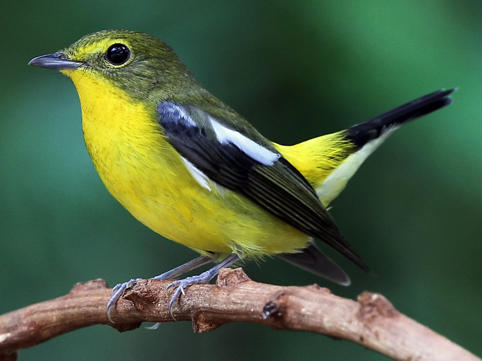 Green-backed Flycatcher - Ang TH