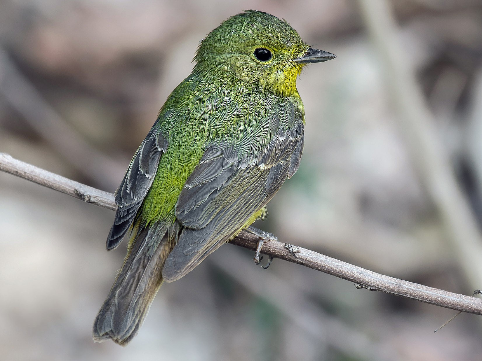 Green-backed Flycatcher - Natthaphat Chotjuckdikul
