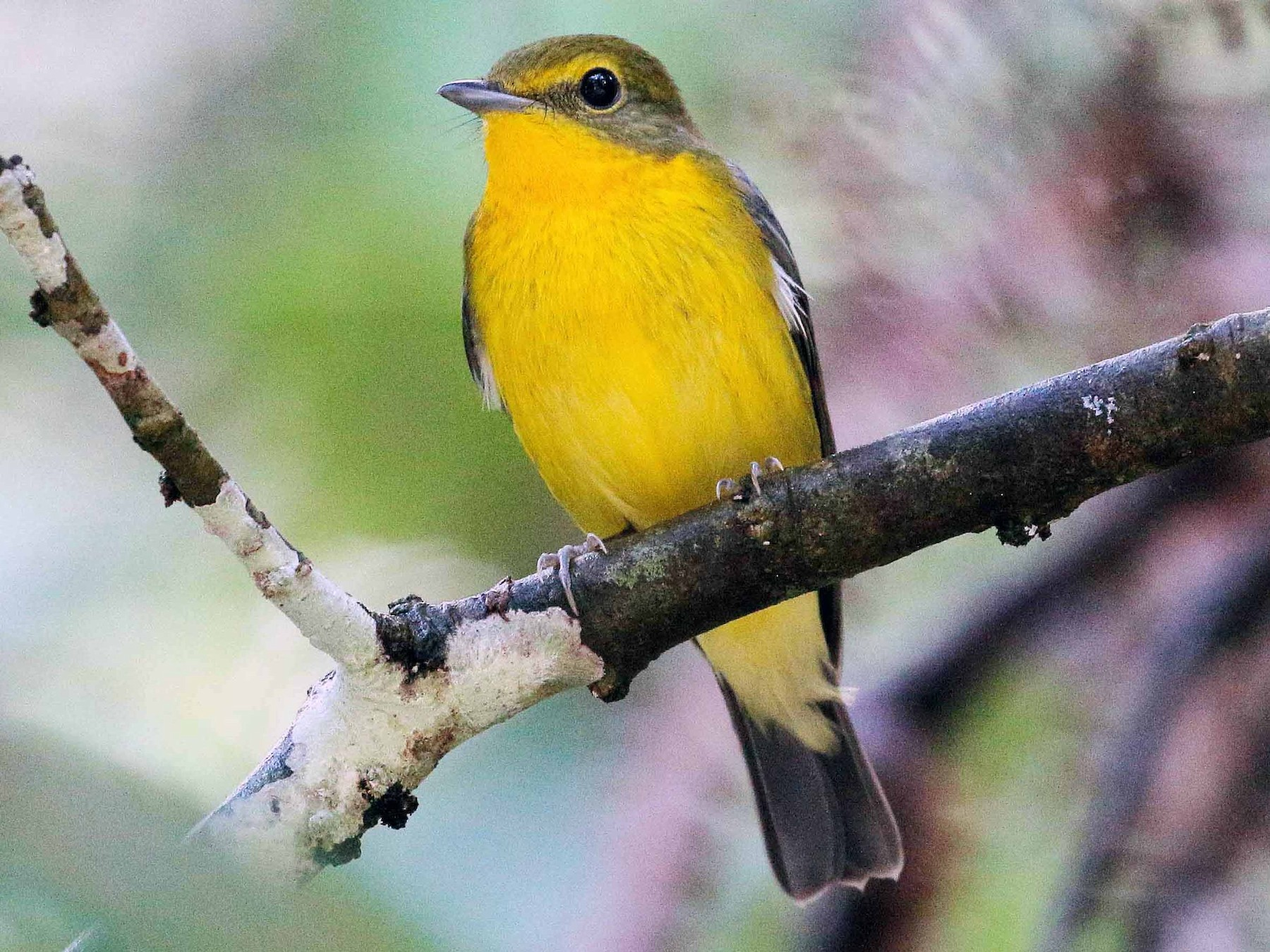 Green-backed Flycatcher - Neoh Hor Kee