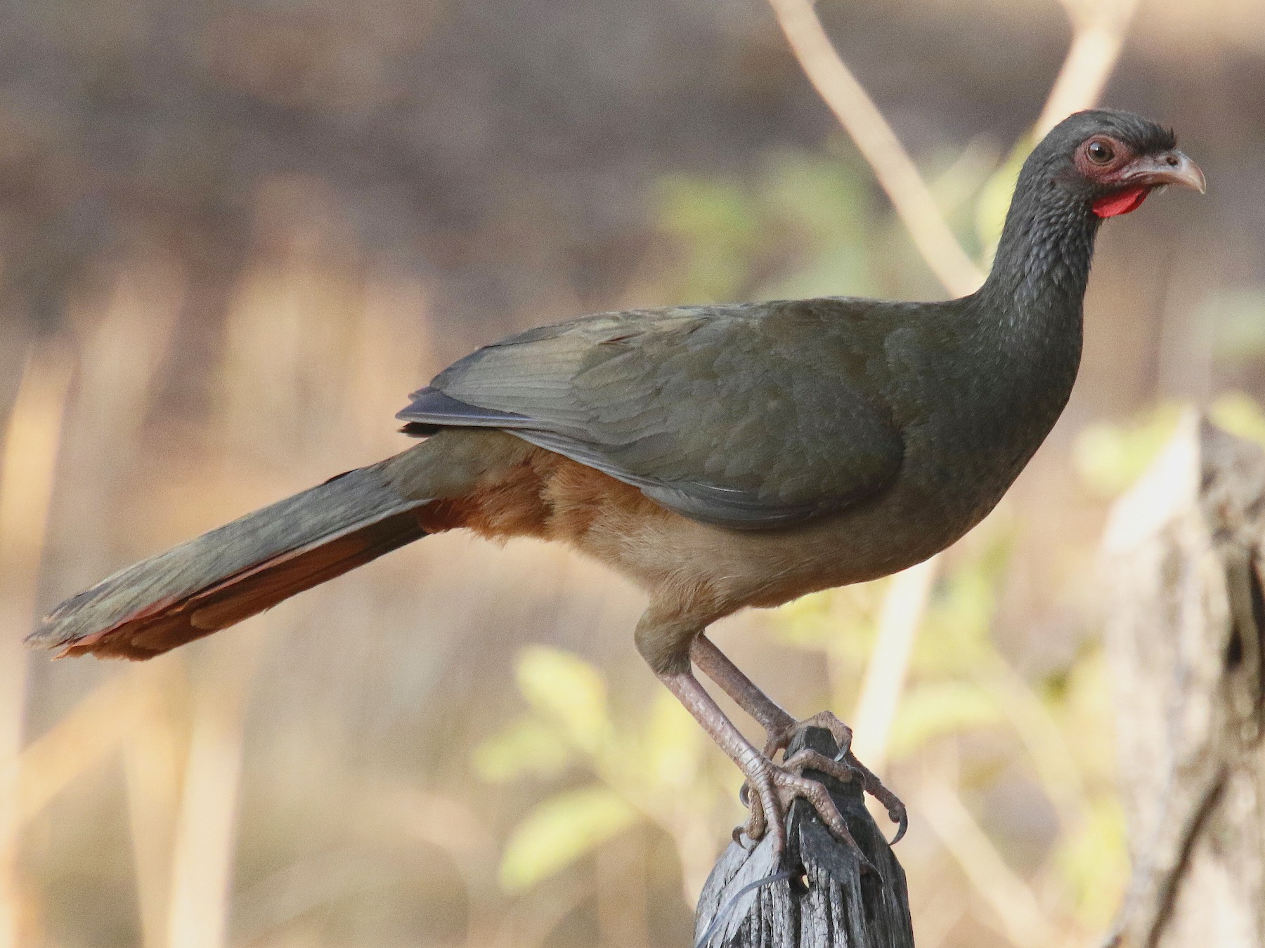 Chaco Chachalaca - Stephen Gast