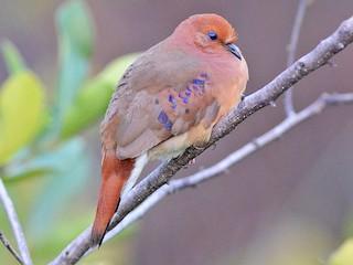 - Blue-eyed Ground Dove