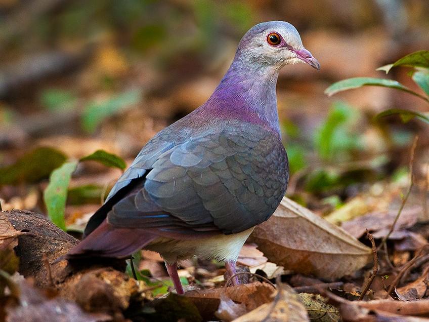 Violaceous Quail-Dove - Matias Romano