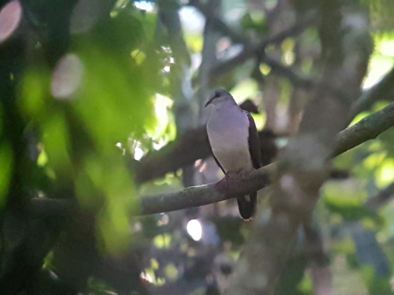 Violaceous Quail-Dove - Bradley Davis