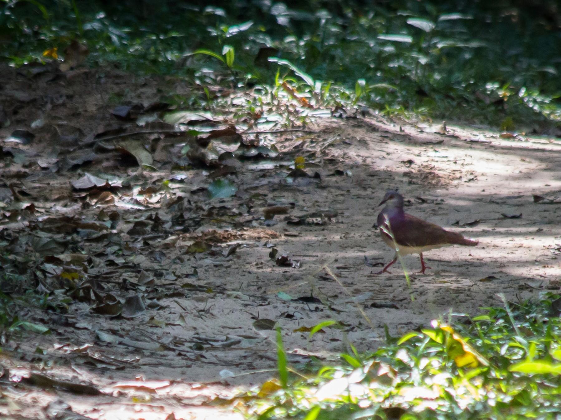 Violaceous Quail-Dove - André  Zambolli