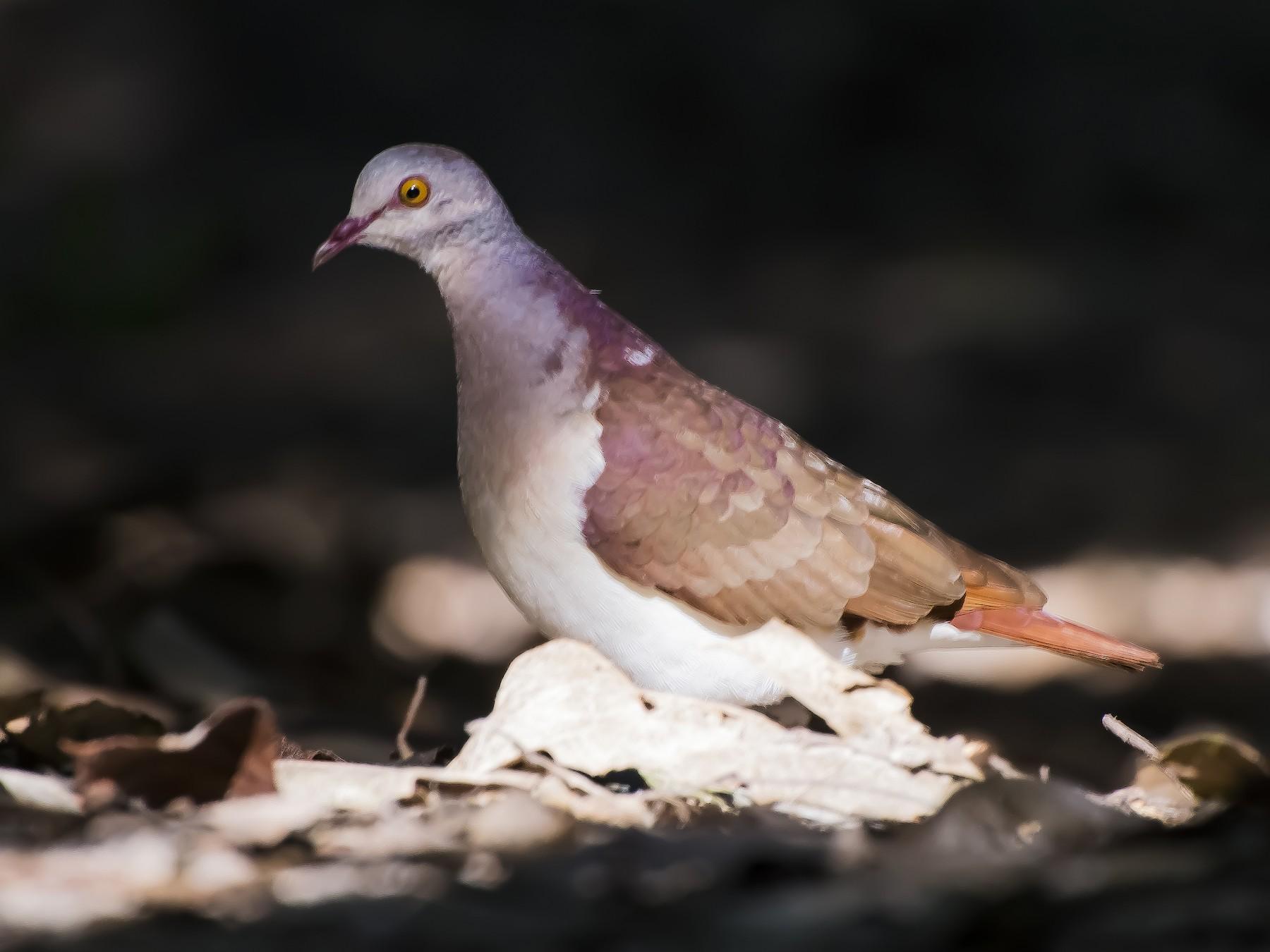 Violaceous Quail-Dove - João Salvador