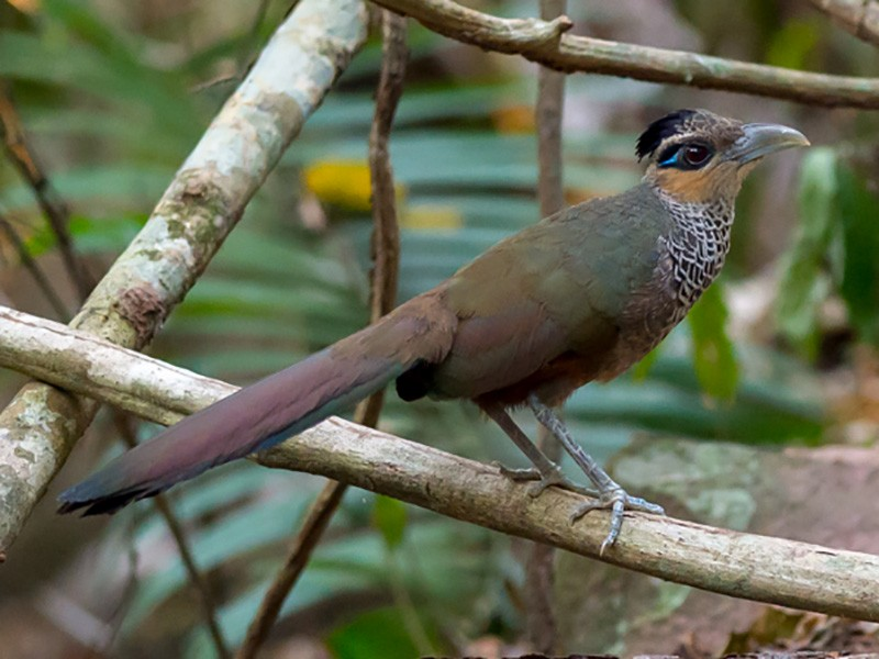 Scaled Ground-Cuckoo - Joao Quental JQuental