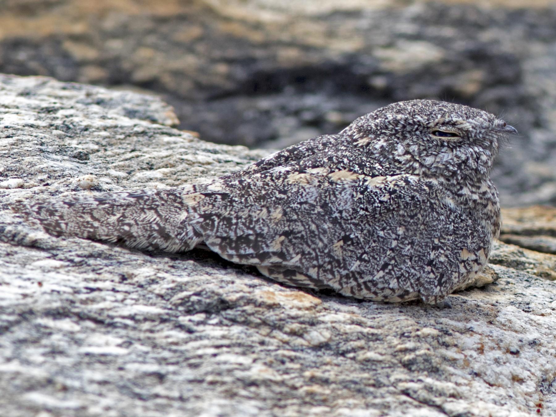 Pygmy Nightjar - Caio Brito