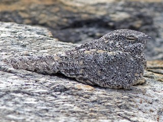 - Pygmy Nightjar