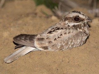 - White-winged Nightjar