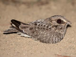 - Sickle-winged Nightjar