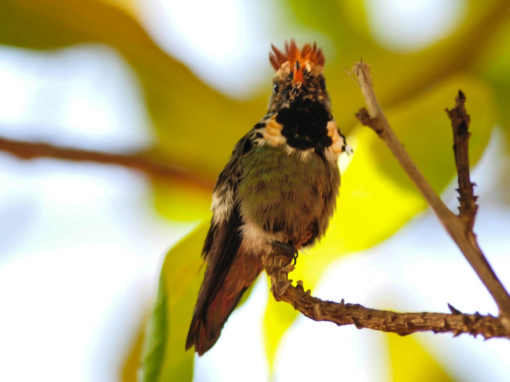 Dot-eared Coquette - Marcelo Barbosa - Tocantins Birding