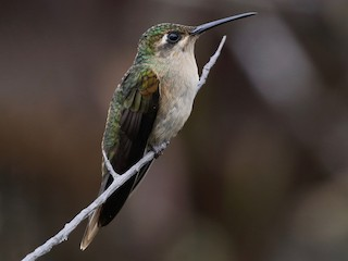 - Buff-breasted Sabrewing