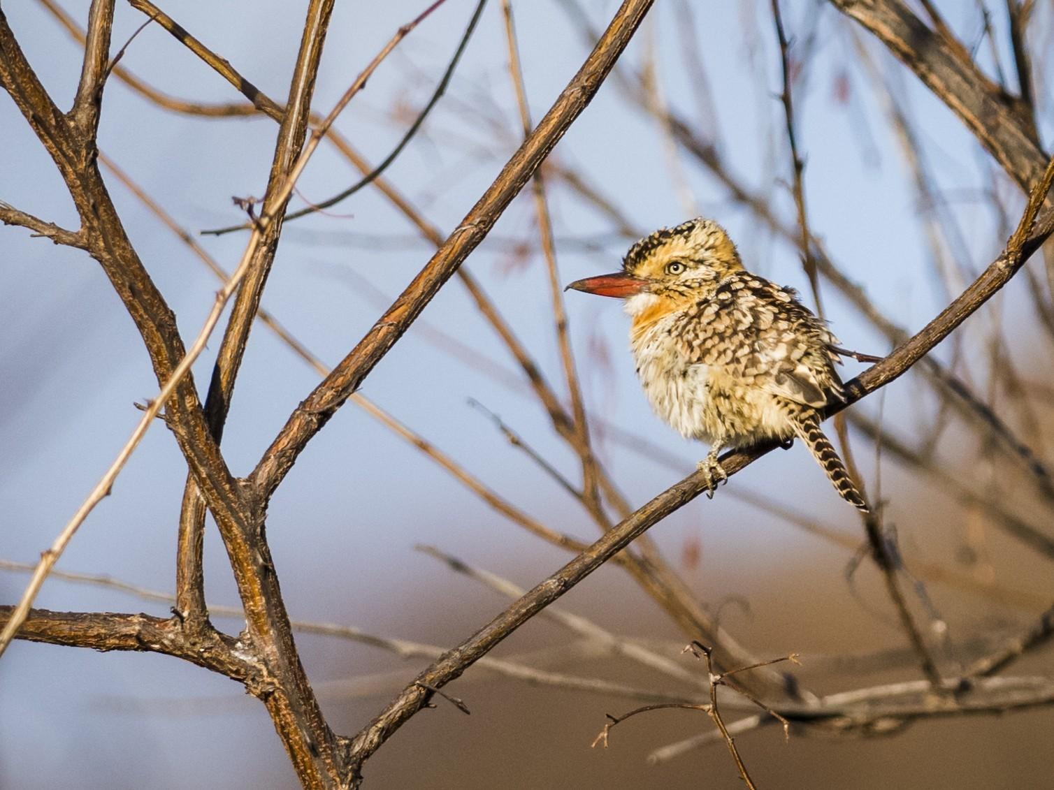 Spot-backed Puffbird - Claudia Brasileiro