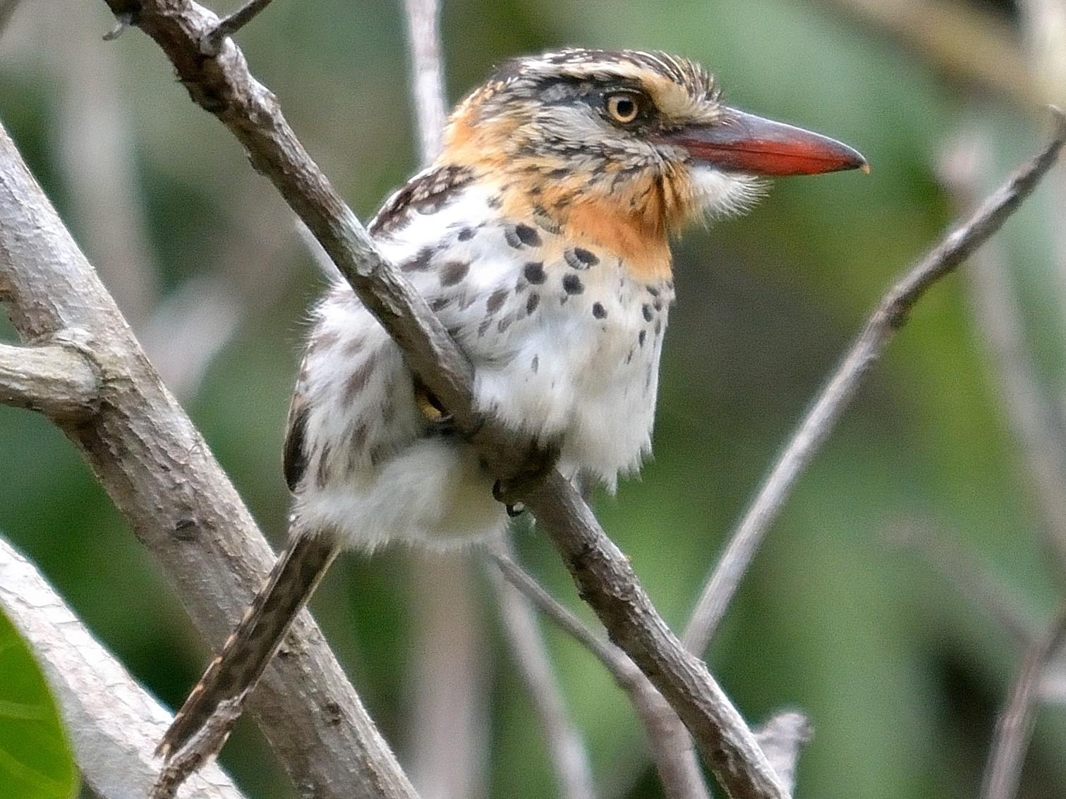 Spot-backed Puffbird - Rodrigo  Ferronato