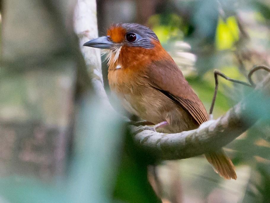 Rufous-necked Puffbird - Joao Quental JQuental