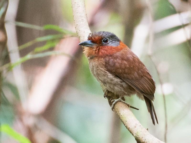 Rufous-necked Puffbird - David Krueper